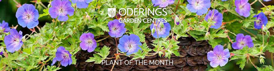 February Plant of the Month – Geranium Rozanne