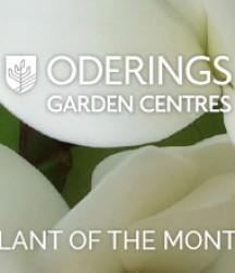 April Plant of the Month – Michelia Fairy White