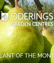 July Plant of the Month  – Pear Garden Belle