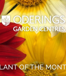 December Plant of the Month – Gazania Wild