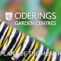 February Plant of the Month – Swan Plants