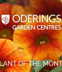 March Plant of the Month – Calibrachoas