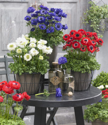 May Plant of the Month – Anemone Double Mixed