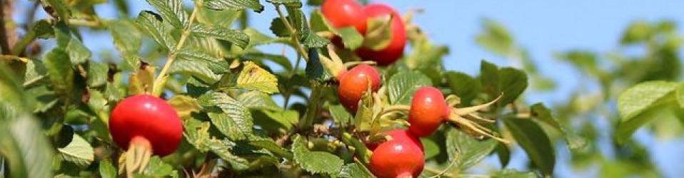 Herb of the Month – Briar Rose Rosa rubiginosa