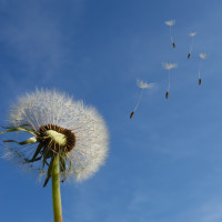 Herb of the Month – Dandelion Taraxacum officinale