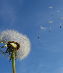 Herb of the Month – Dandelion Taraxacum officinale