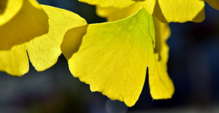 Herb of the Month – Ginkgo Biloba