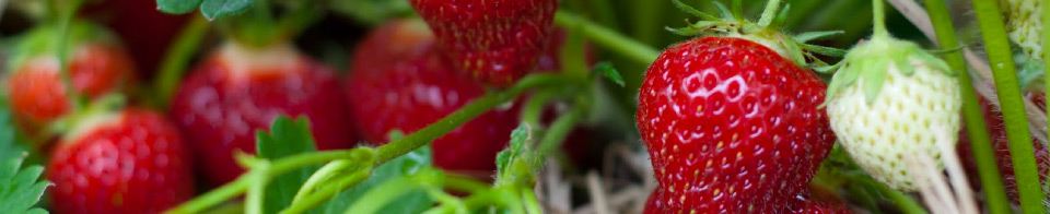 Strawberry Aromas – October Plant of the Month