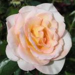 member-rose