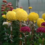 david-chrysanthemum-web