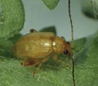 beetle-web
