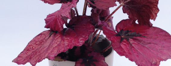 April Plant of the Month – T-Rex Begonia Ruby Slippers