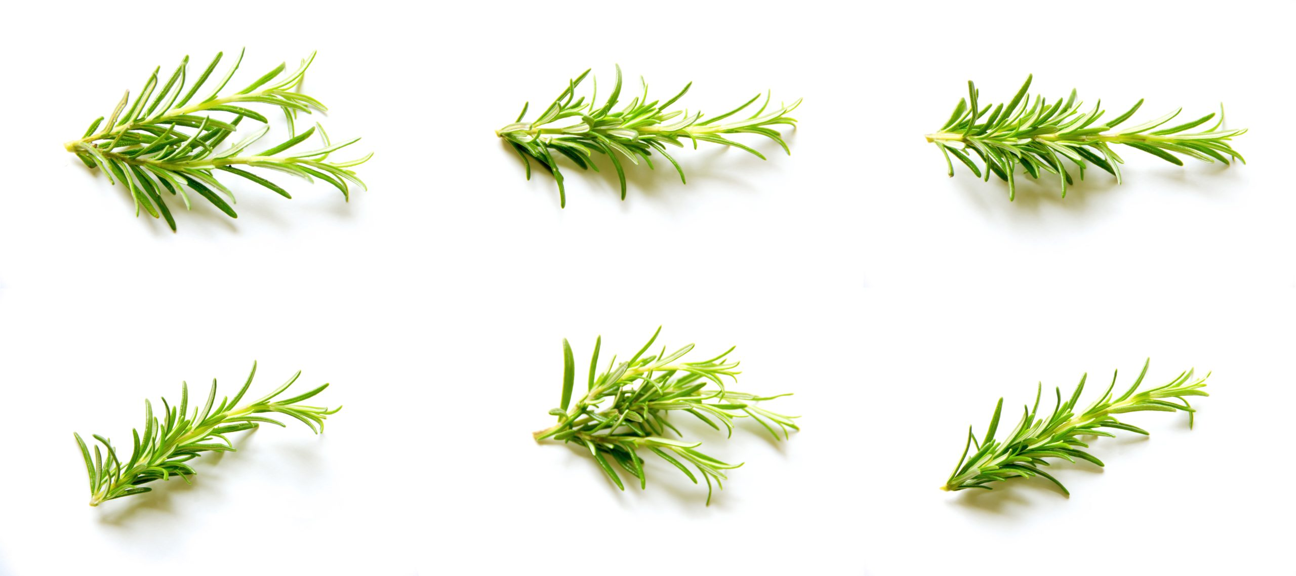 Herb of the Month – Rosemary