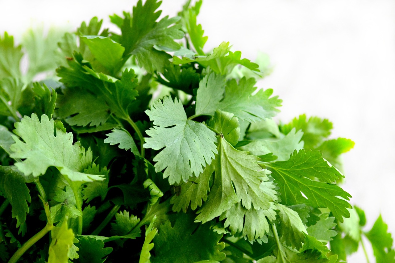 Herb of the Month – Coriander
