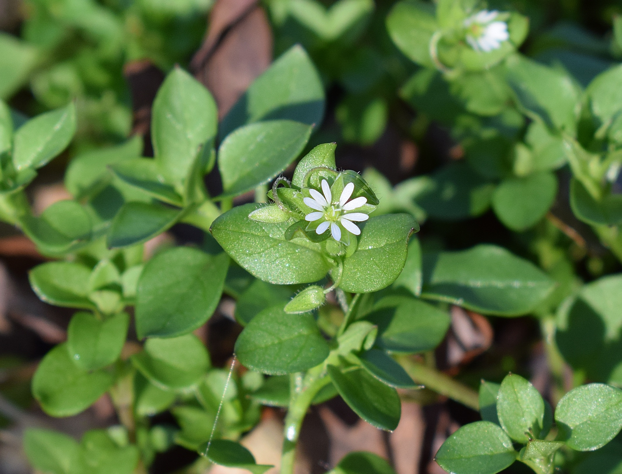 Herb of the Month – Chickweed