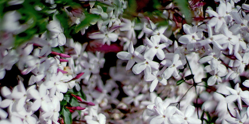Discover the Effects of the Jasmine Plant on Health