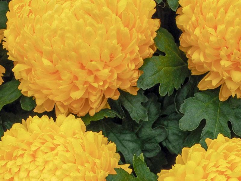 National Chrysanthemum Show 2021